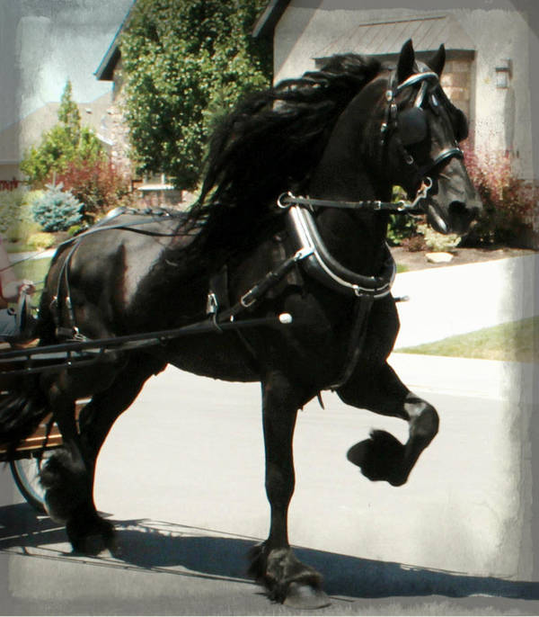 Friesian Stallion Canvas Print Poster featuring the photograph Friesian Driving by Royal Grove Fine Art