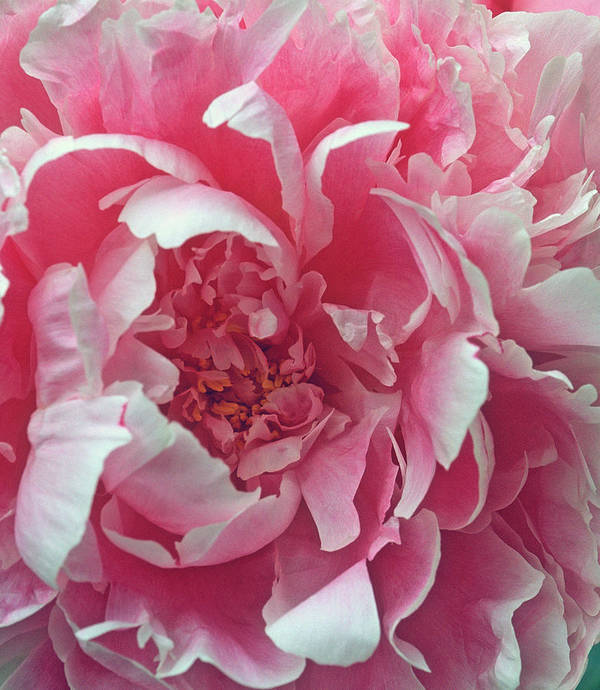 Flowers Poster featuring the photograph Plush Peony by Kathy Yates