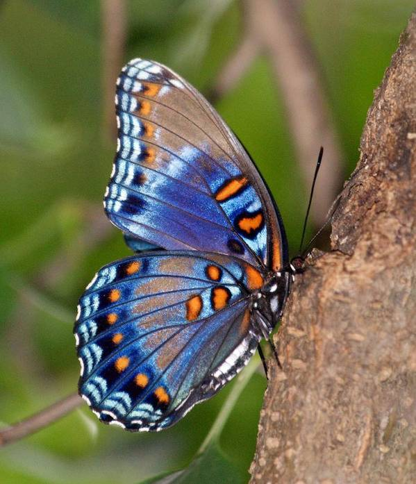 Butterfly Poster featuring the photograph Red Spotted Purple Butterfly by Sandy Keeton