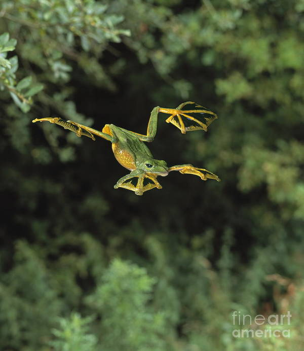 Animal Poster featuring the photograph Wallaces Flying Frog by Stephen Dalton