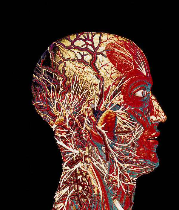 Head Poster featuring the photograph Colour Artwork Of Nerve & Blood Supply Of Head by Mehau Kulyk