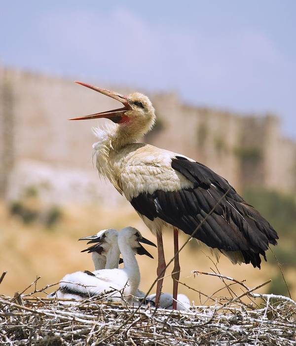 Animals Poster featuring the photograph White Stork Ciconia Ciconia, Turkey by Carson Ganci