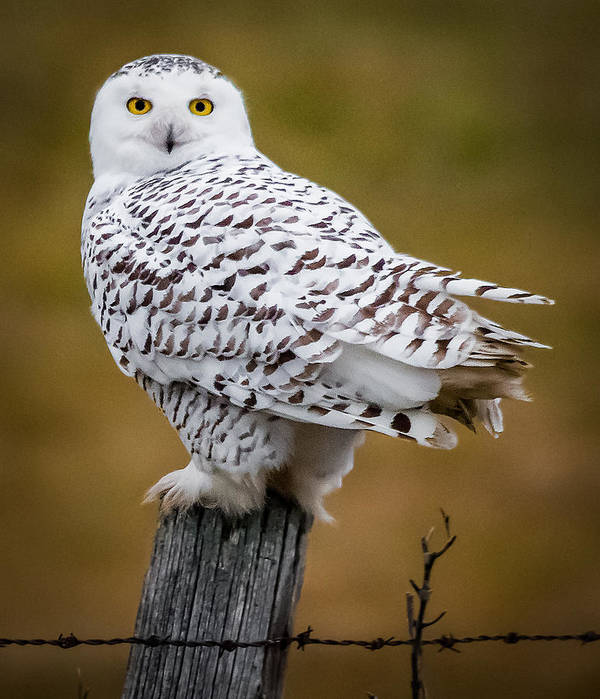Snowy Owl Poster featuring the photograph Posted by Sandy Roe