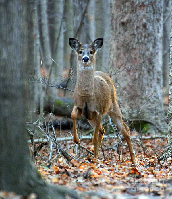 Deer Poster featuring the photograph Doe On The Move by Steve Gass