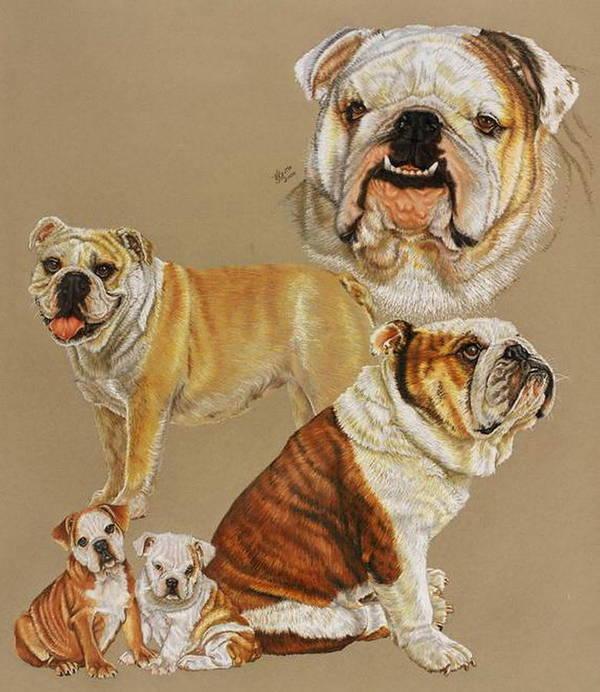 Purebred Poster featuring the drawing English Bulldog by Barbara Keith