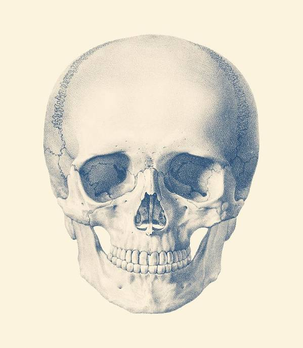 Full Human Skull Front Facing View Poster By Vintage Anatomy Prints