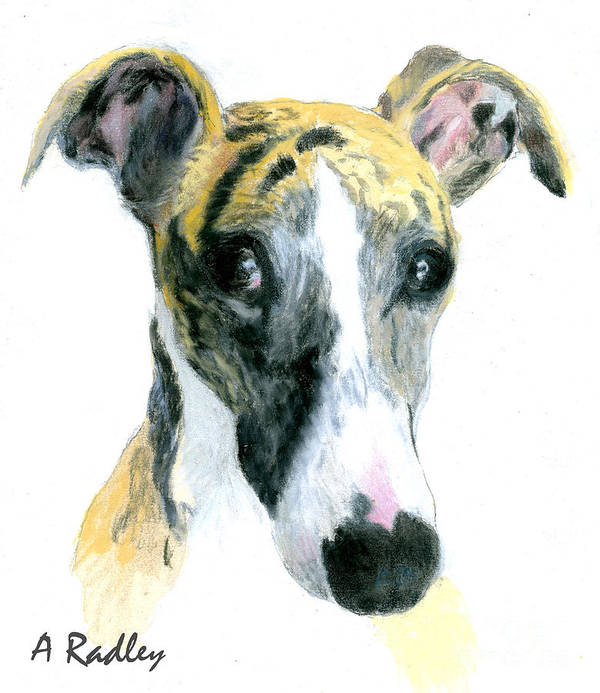 Dog Dogs Puppy Puppies Whippet Whippets Sighthound Sighthounds Gazehound Gazehounds Animal Animals Greyhound Greyhounds Pet Pets Portrait Portraits Pastel Poster featuring the painting Love That Whippet by Ann Radley