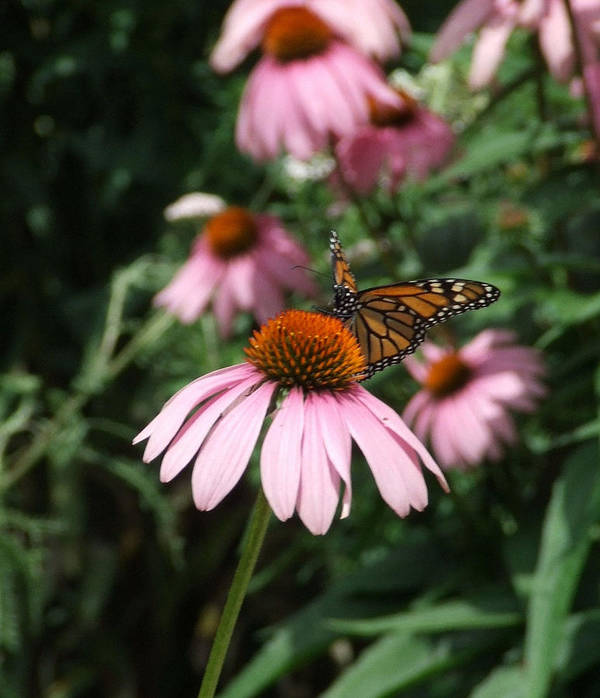 Nature Poster featuring the photograph Monarch On Coneflower by Ann-Elizabeth