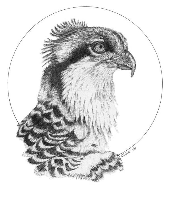 Wildlife Poster featuring the drawing Osprey by Lawrence Tripoli