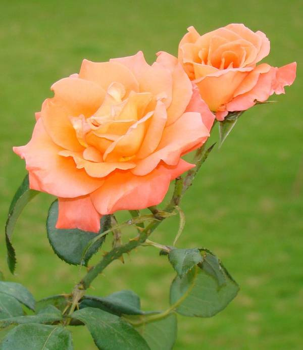 Roses Poster featuring the photograph Peach And Gold Roses by Reshmi Shankar