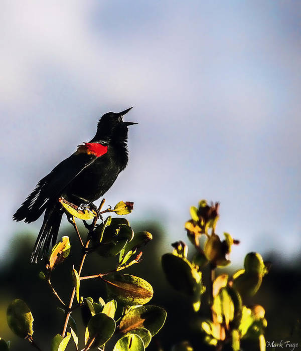 Florida Poster featuring the photograph Red Wing Black Bird by Mark Fuge