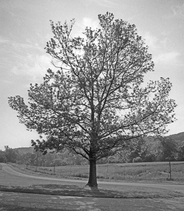 Trees Poster featuring the photograph Sunlit Tree by Paul Trunk