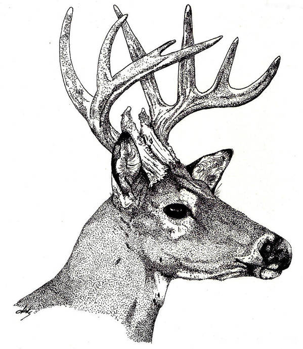 Deer Poster featuring the drawing Ten Point Buck by Debra Sandstrom