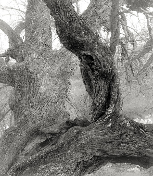 Catalina State Park Poster featuring the photograph Walnut Tree Detail by Joseph Smith