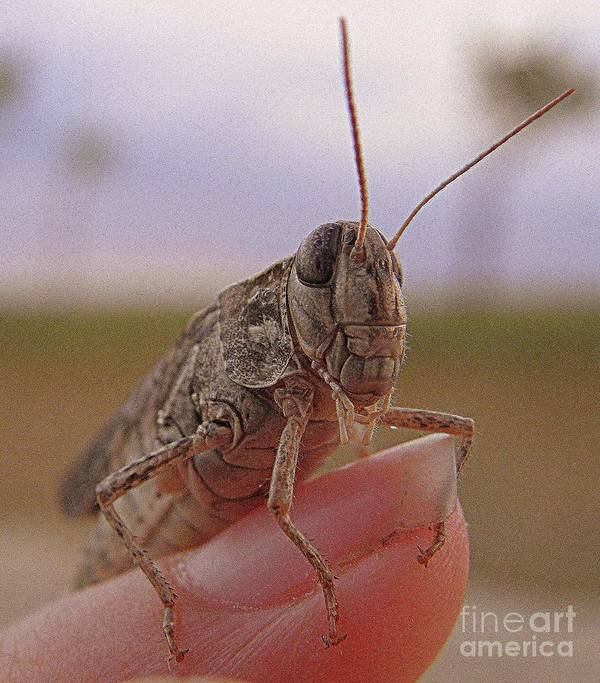 Grasshopper Poster featuring the photograph Hanging In There by Frances Hodgkins