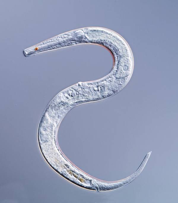 Animal Poster featuring the photograph Marine Nematode Worm, Light Micrograph by Gerd Guenther