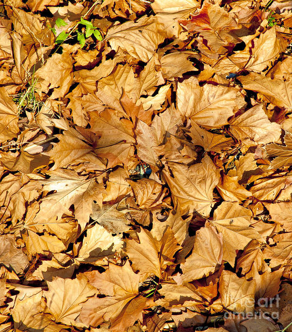Brown Poster featuring the photograph Autumn Leaves by Chris Koumantsiotis