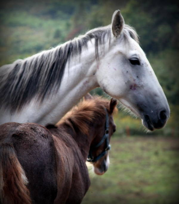 Horses Poster featuring the photograph Instinct Of Love by Karen Wiles