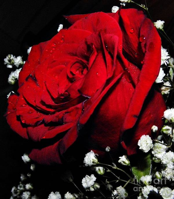 Roses Poster featuring the photograph Red Rose by Lonna Ours