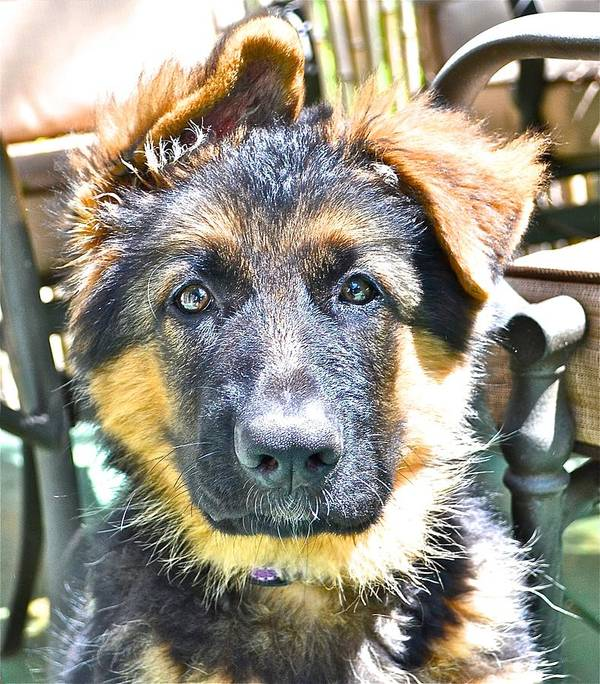 German Shepherd Dog Poster featuring the photograph Baby Face Pup by Danielle Sigmon