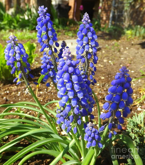 Flower Poster featuring the photograph Blue Grape Hyacinth by Lingfai Leung