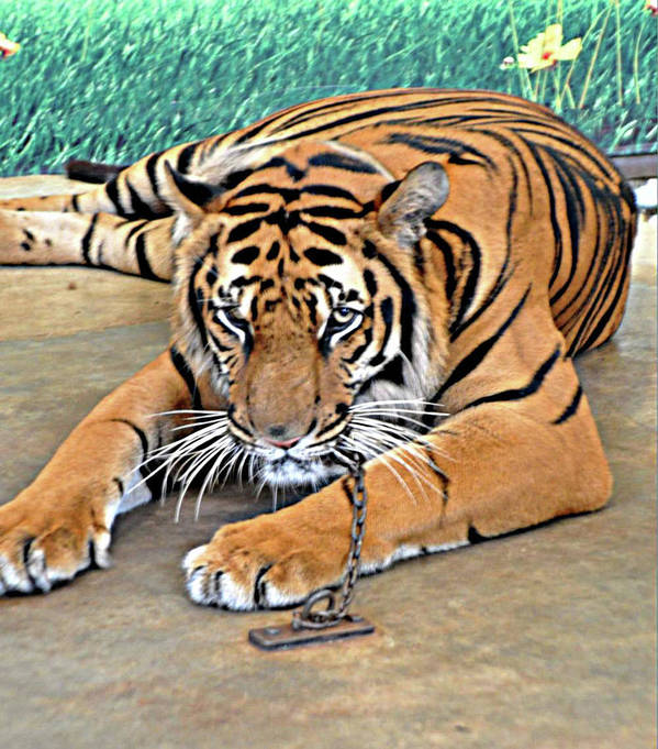 Tiger Poster featuring the photograph Captive And Bored by John Hughes