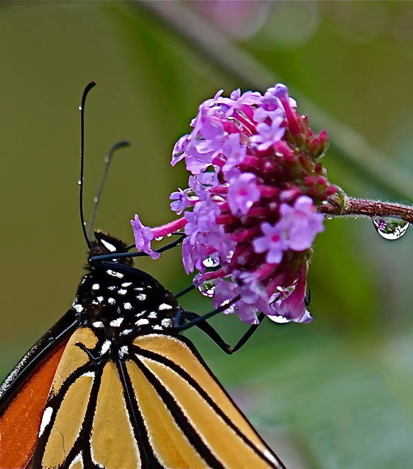 Butterfly Poster featuring the photograph Monarch Purple by Peter Gray