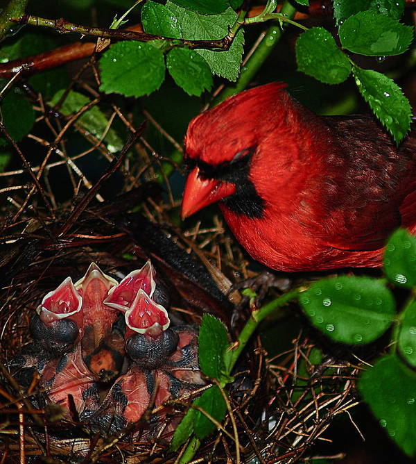 Cardinal Poster featuring the photograph Feed Me Daddy by Frozen in Time Fine Art Photography