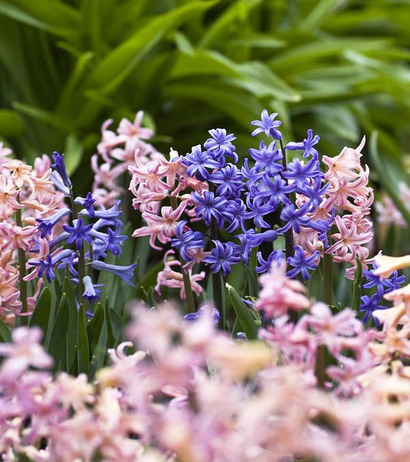 Frank Tschakert Poster featuring the photograph Hyacinth Garden by Frank Tschakert