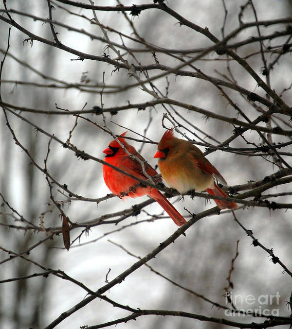 Cardinals Poster featuring the photograph True Love Cardinal by Peggy Franz