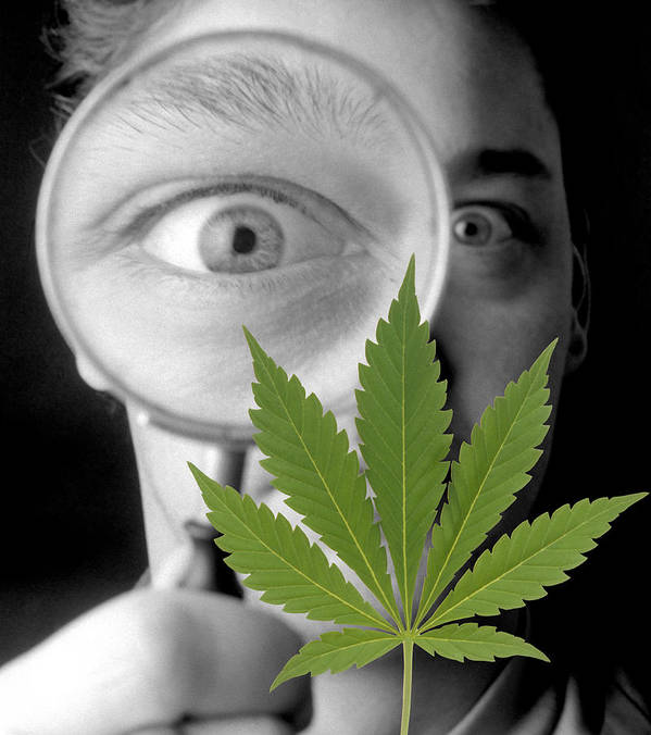 Cannabis Sativa Poster featuring the photograph Cannabis Research by Victor De Schwanberg