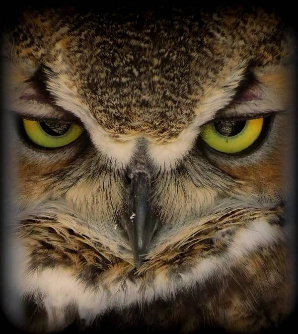 Montana Poster featuring the photograph Great Horned Owl by Leah Grunzke