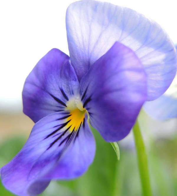 Viola Poster featuring the photograph Purple And Blue Viola by Brenda Parent