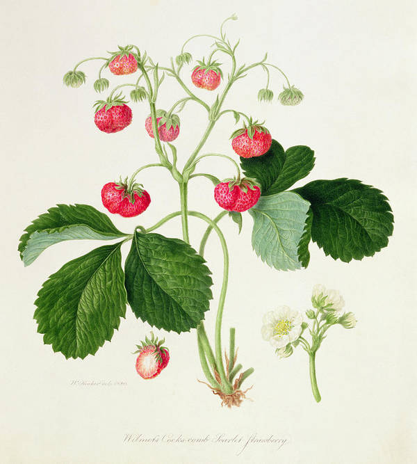Strawberries; Fruit; Blossom; Leaves; Botanical Illustration Poster featuring the painting Wilmot's Cocks Comb Scarlet Strawberry by William Hooker
