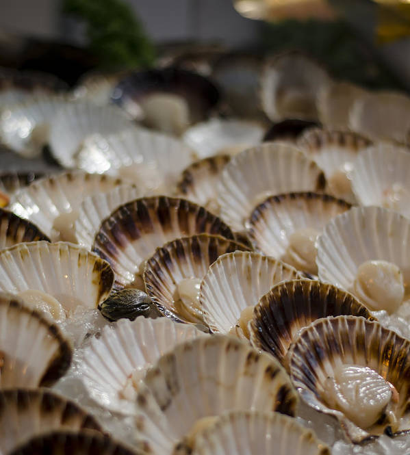 Scallops Poster featuring the photograph Fresh From The Sea by Heather Applegate