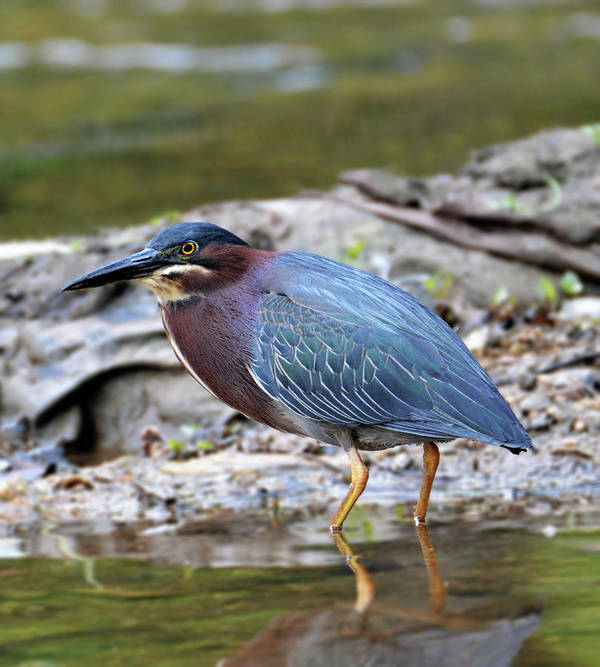 Green Heron Poster featuring the photograph Green Heron by Kathy Kelly