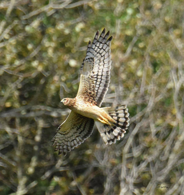 Northern Harrier Hawk Poster featuring the photograph Joy of Flying by Sally Sperry