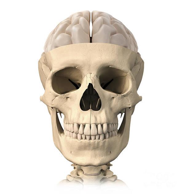 Anatomy Poster featuring the digital art Anatomy Of Human Skull, Cutaway View by Leonello Calvetti