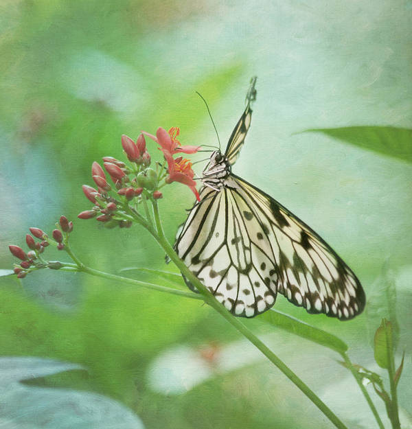 Butterfly Poster featuring the photograph Fairy Dance by Kim Hojnacki