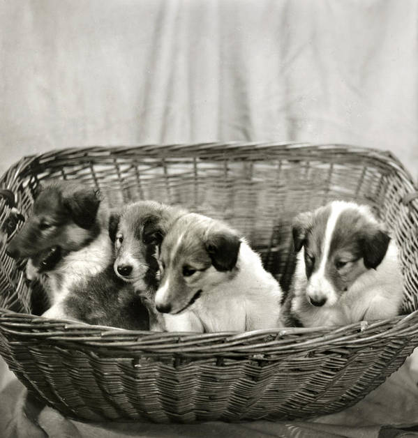 Vintage Poster featuring the photograph Puppies Of The Past by Marilyn Hunt