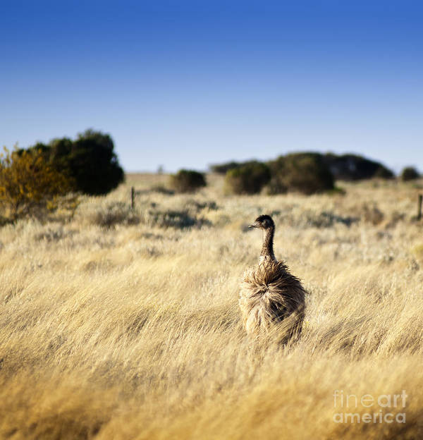 Animal Poster featuring the photograph Wild Emu by Tim Hester