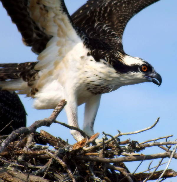 Osprey Poster featuring the photograph The True Fisherman by Karen Wiles