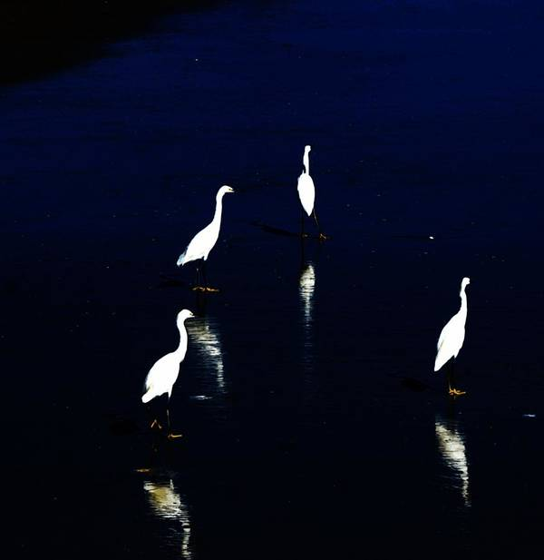 Sea Birds Poster featuring the digital art Egret Reflections by David Lane