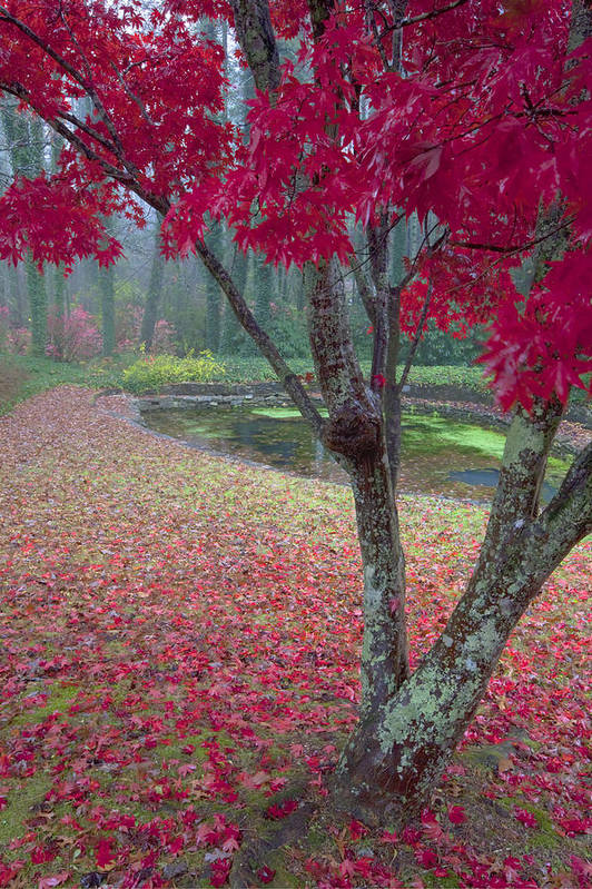 Red Photographs Poster featuring the photograph Autumn Red by Rob Travis