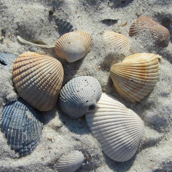 Shells Poster featuring the photograph Fernandina Shells by Cathy Lindsey