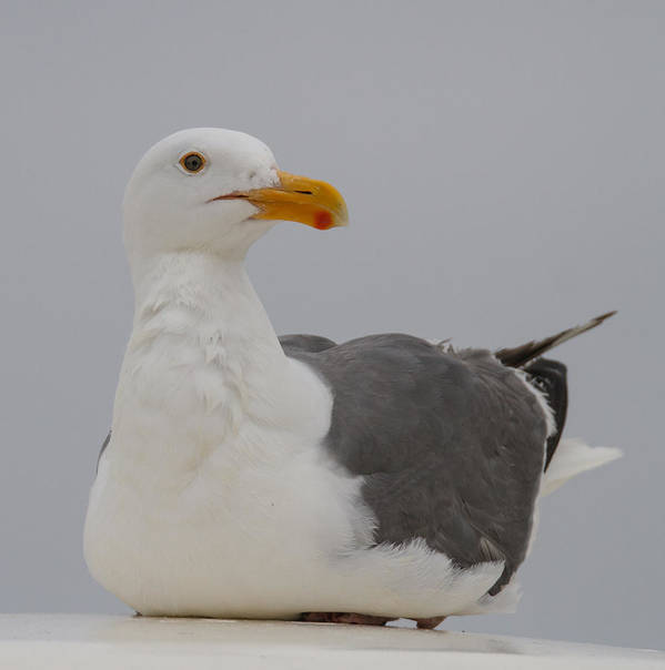 Herring Gull Poster featuring the photograph Herring Gull by Angie Vogel
