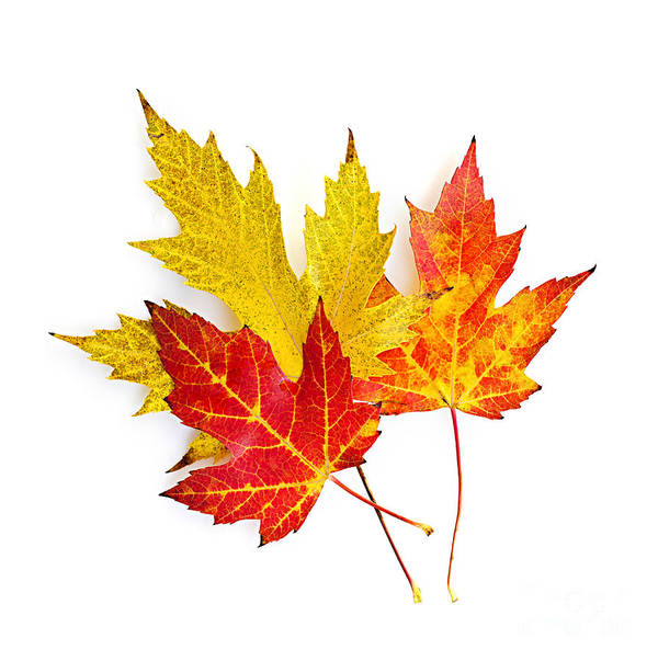 Leaves Poster featuring the photograph Fall Maple Leaves On White by Elena Elisseeva