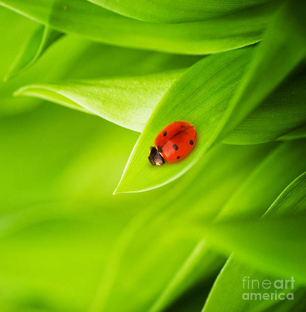 Ladybug Poster featuring the photograph Ladybug On Leaves by Boon Mee