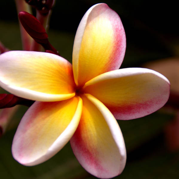 Still Life Poster featuring the photograph Pink And Yellow Plumeria by Brian Harig