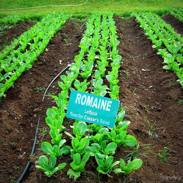 Romaine Poster featuring the photograph Romaine by GypsyBfly